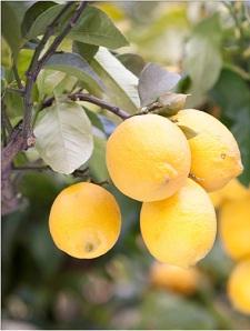 島で育った無農薬レモン